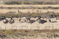 シジュウカラガンの集う田んぼで - コーヒー党の野鳥と自然 パート2