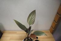 """Homalomena sp. 'Tubaki' """"Pulau Lingga"""" - PlantsCade -2nd effort"""
