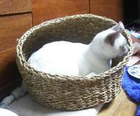 トンキニーズ子猫2匹 - MINKWIN Cattery &Pretty Aki