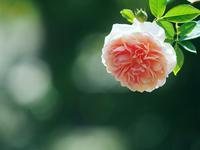 生田バラ園の秋薔薇 1 - 光の音色を聞きながら Ⅲ
