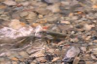赤川詣で - 「 ボ ♪ ボ ♪ 僕らは釣れない中年団 ♪ 」