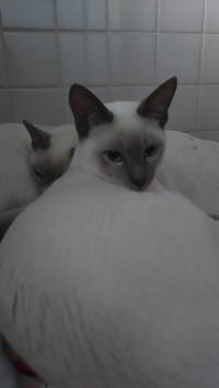 新年明けますん♪ - MINKWIN Cattery &Pretty Aki