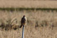 コチョウゲンボウ12月30日-2 - 旧サンヨン野鳥撮影放浪記