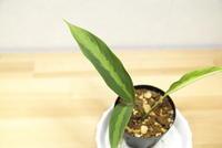 """Schismatoglottis jepomii """"Betong"""" - PlantsCade -2nd effort"""