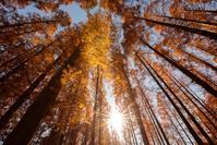 黄金のメタセコイアの森 水元公園 - Full of LIFE