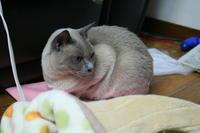 今年も宜しくにゃ~ - MINKWIN Cattery &Pretty Aki