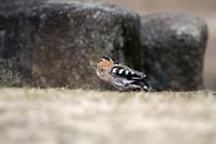 ヤツガシラ その5(冠羽を開いた) - 私の鳥撮り散歩