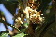 冬に花が咲くビワ - 神戸布引ハーブ園 ハーブガイド ハーブ花ごよみ