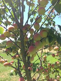 嬉しい梅仕事 - みつばちとニュージーランドで暮らす PicoMiere