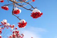 ナナカマドと雪景色~12月の美瑛 - My favorite ~Diary 3~