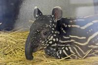 マレーバクの赤ちゃん「ソラ」 - 続々・動物園ありマス。