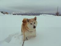 新年のごあいさつ☆ - 柴犬さくら、北国に生きる