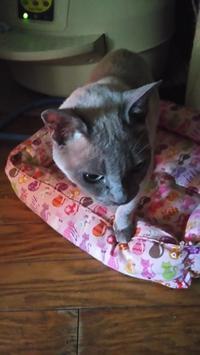 新春シャンプーは… - MINKWIN Cattery &Pretty Aki