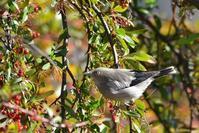 カラムクドリ - ごっちの鳥日記