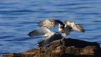 今年も元気、南紀のミサゴ - Life with Birds 3