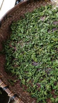 茶摘みと紅茶作り - なちゅらみヨーガ*Space Samsara*