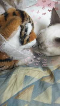 僕と寅ぬいぐるみ - MINKWIN Cattery &Pretty Aki