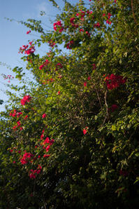 Bougainvillea reflecting on morning sun - SONGS