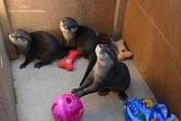 コツメカワウソ赤ちゃんに会えました。 - 動物園でお散歩