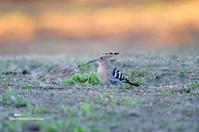 ヤツガシラ(八頭) (2) - azure 自然散策 ~自然・季節・野鳥~