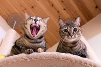 おすまし&大あくび後ビックリ - 猫と夕焼け
