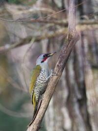 野鳥の森のアオゲラ - コーヒー党の野鳥と自然 パート2