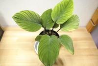 "Homalomena sp. ""Kalimantan Barat"" - PlantsCade -2nd effort"