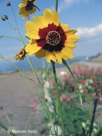 ハルシャギク(波斯菊) - 草花と自然Blog