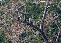 鳥取のオジロワシ - なんでもブログ