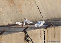 百合鴎 【水を飲むユリカモメ】 - kawanori-photo