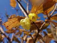 蝋梅 - だんご虫の花