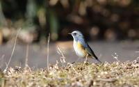 近隣の市の公園にルリビタキに逢いに (地上編) - 私の鳥撮り散歩