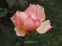 この時期に薔薇が咲いた~薔薇が咲いた~♡ - アリスのトリップ