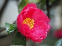 山茶花♫ - アリスのトリップ