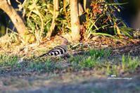 ヤツガシラ(八頭) 最終章 - azure 自然散策 ~自然・季節・野鳥~
