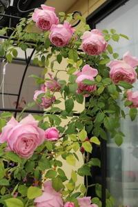スピリットオブフリーダムの誘引 - my small garden~sugar plum~