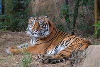ズーラシアのネコ科達 - 動物園に嵌り中