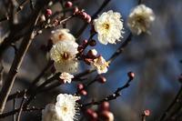 ■白いもの3つ18.10.11(白梅、クワコ、産毛) - 舞岡公園の自然2