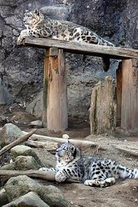 台の上のユキヒョウ親子 - 動物園放浪記