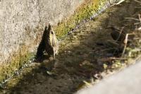 タマシギ - くろせの鳥