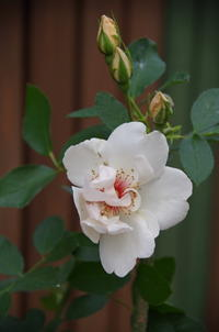 マイガーデンの薔薇Ⅴ - 季節の風を追いかけて