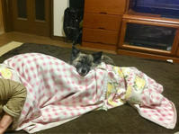 添い寝 - 琉球犬mix白トゥラーのピカ