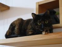 猫のお留守番 ユリちゃん編。 - ゆきねこ猫家族