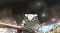 カジカガエルの変態直後の幼体 jubenile - 北のフィールドノート