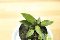 "Homalomena sp. 'Normal Green' ""Sulawesi Tengah"" - PlantsCade -2nd effort"