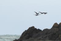 コクガン - ひとり野鳥の会