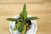 "Homalomena sp. ""Lampung"" - PlantsCade -2nd effort"