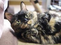猫のお留守番 イナちゃん編。 - ゆきねこ猫家族