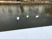 積雪4日目 白鳥と氷柱 - azukki的.