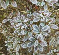 霜の花咲く冬の朝… - 侘助つれづれ